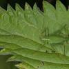 Speckled Bush Cricket ♀, Leptophyes punctatissima 2275