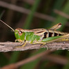 Meadow Grasshopper, Chorthippus parallelus 2314