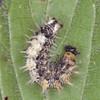 Comma larva, Polygonia c-album  2260