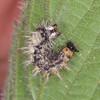 Comma larva, Polygonia c-album 2261