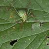 Speckled Bush Cricket ♀, Leptophyes punctatissima 2288