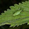 Speckled Bush Cricket ♀, Leptophyes punctatissima 2274