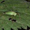 Speckled Bush Cricket ♀, Leptophyes punctatissima 2284