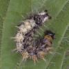Comma larva, Polygonia c-album 2262