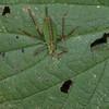 Speckled Bush Cricket ♀, Leptophyes punctatissima 2285