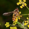 Marmalade Hoverfly, Episyrphus balteatus 2304