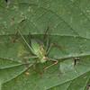 Speckled Bush Cricket ♀, Leptophyes punctatissima 2287