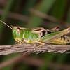 Meadow Grasshopper, Chorthippus parallelus 2316