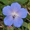 Meadow Cranesbill, Geranium pratense 3033