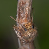 Dingy Skipper, Erynnis tages 2308