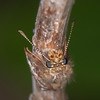 Dingy Skipper, Erynnis tages 2307