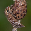 Dingy Skipper, Erynnis tages 2242