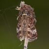 Dingy Skipper, Erynnis tages 2247