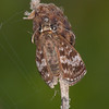 Dingy Skipper, Erynnis tages 2246