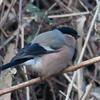 Bullfinch, female, Pyrrhula pyrrhula 4302