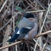 Bullfinch, female, Pyrrhula pyrrhula 4298
