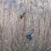 Kingfisher, Alcedo atthis and female Bullfinch, Pyrrhula pyrrhula 4257