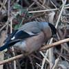 Bullfinch, female, Pyrrhula pyrrhula 4299
