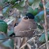 Bullfinch, female, Pyrrhula pyrrhula 4279