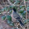 Bullfinch, female, Pyrrhula pyrrhula 4286