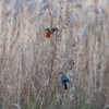Kingfisher, Alcedo atthis and female Bullfinch, Pyrrhula pyrrhula 4256