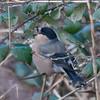 Bullfinch, female, Pyrrhula pyrrhula 4288