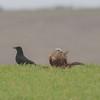 Red Kite, Milvus milvus and Carrion Crow, Corvus corone 9917