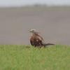 Red Kite, Milvus milvus 9926