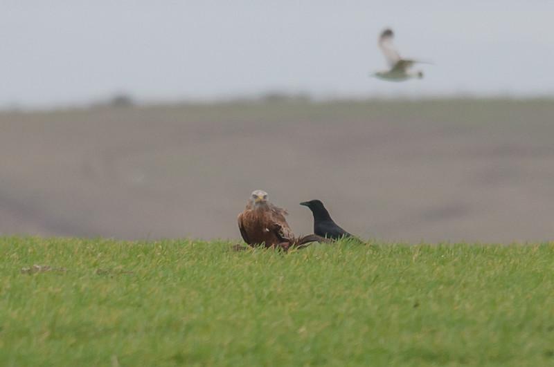 Red Kite, Milvus milvus and Carrion Crow, Corvus corone 9898