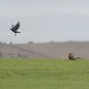 Red Kite, Milvus milvus and Carrion Crow, Corvus corone 9921