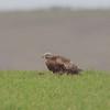 Red Kite, Milvus milvus 9935