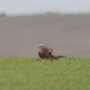 Red Kite, Milvus milvus 9885