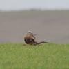 Red Kite, Milvus milvus 9888