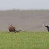 Red Kite, Milvus milvus and Carrion Crow, Corvus corone 9896