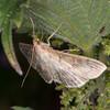Long-winged Pearl, Anania lancealis 2676