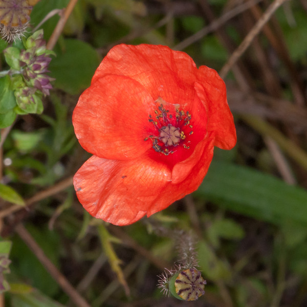 Red Poppy, Papaver rhoeas 2621