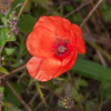 Red Poppy, Papaver rhoeas 2621