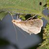 Long-winged Pearl, Anania lancealis 2674