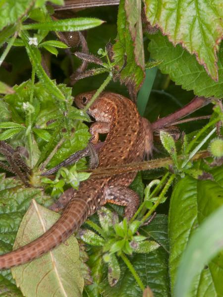 Common Lizard, Zootoca vivipara 2602