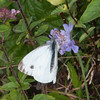 Green-veined White, Pieris napi 2609