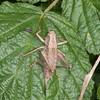 Dark Bush Cricket ♀, Pholidoptera griseoaptera 2604