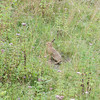Brown Hare, Lepus europaeus 2594