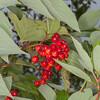 Guelder Rose, Viburnum Opulus 2695