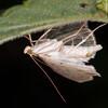Long-winged Pearl, Anania lancealis 2675