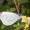 Green-veined White, Pieris napi 2613