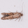 moth, Blastobasis vittata 2637