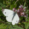 Green-veined White, Pieris napi 2606