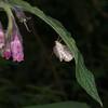 Long-winged Pearl, Anania lancealis 2670