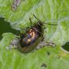 Leaf beetle noid 2700
