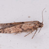 moth, Blastobasis vittata 2634